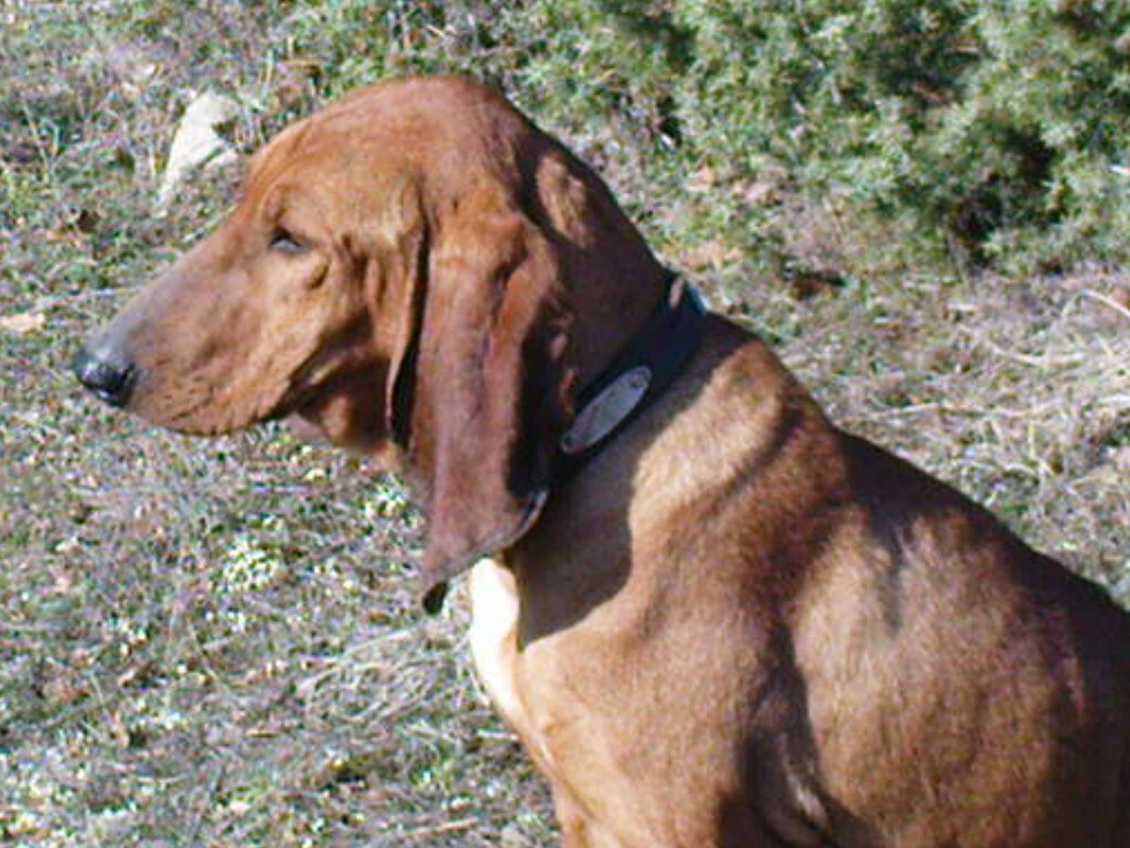Segugio Italiano Dog: Segugio Cute Segugio Italiano Dog Breed
