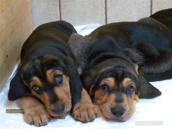 Segugio Italiano Puppies: Segugio Itphotsegugio Breed