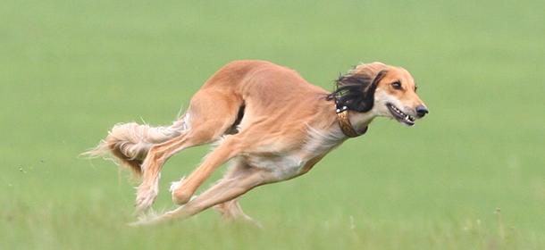 Segugio Italiano Puppies: Segugio Saluki Cane Tutte Le Caratteristiche Breed