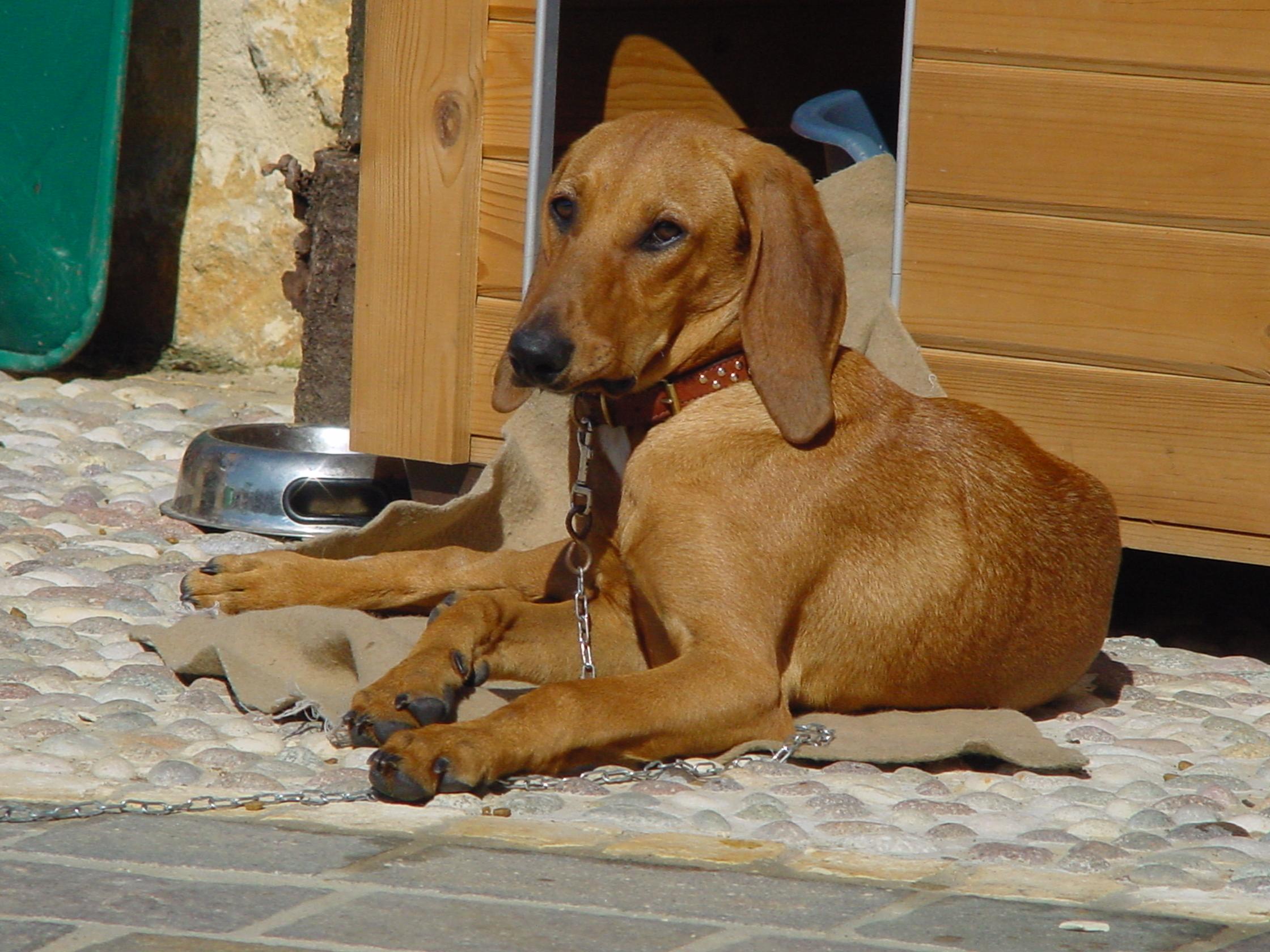 Segugio Italiano Dog: Segugio Segugio Italiano Breed