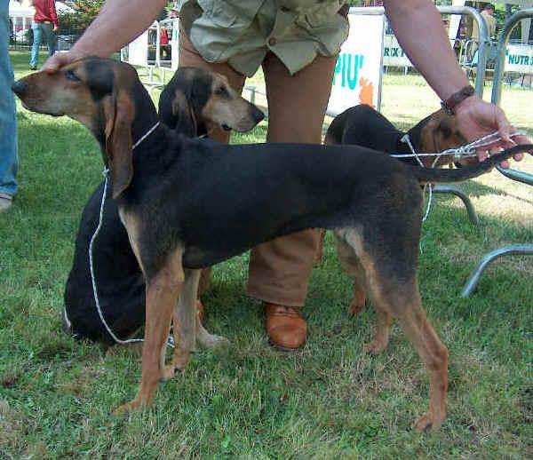 Segugio Italiano Dog: Segugio Segugioitalianoapeloraso Breed