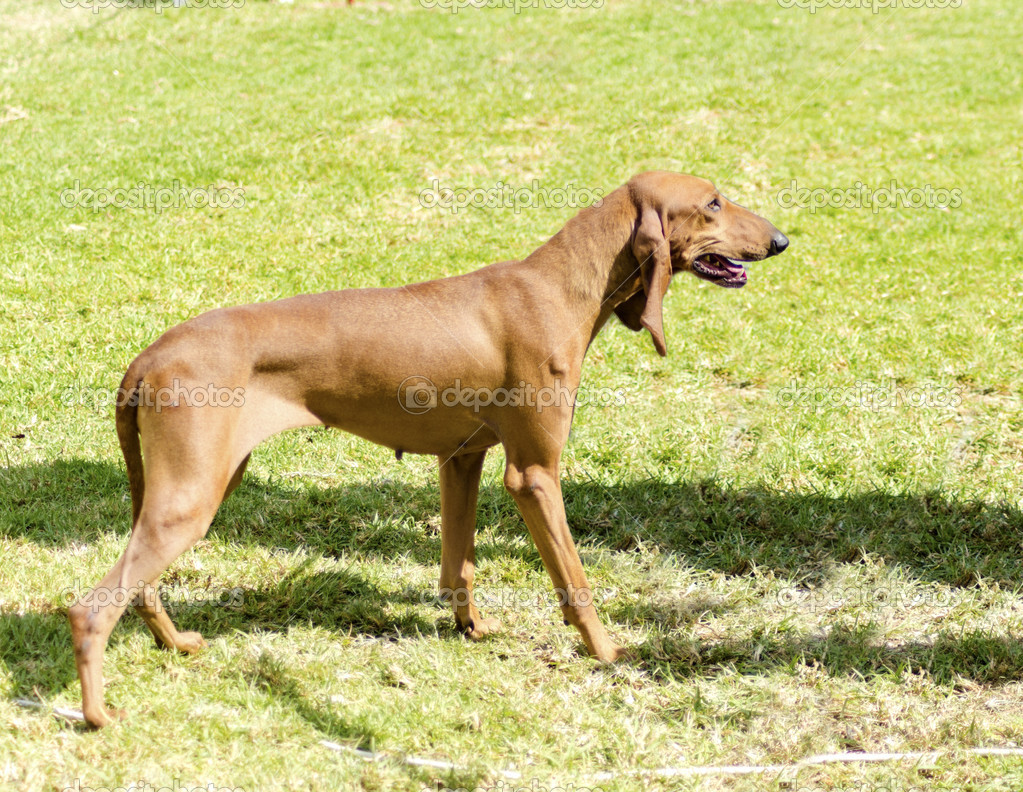 Segugio Italiano Dog: Segugio Stock Segugio Italiano Breed