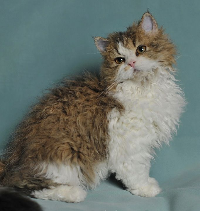 Selkirk Rex Cat: Selkirk Breed