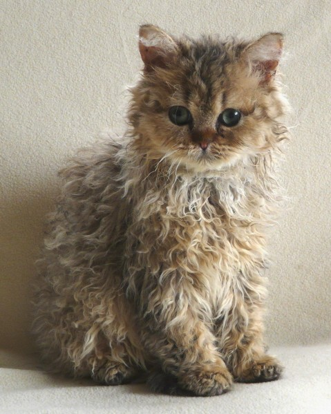 Selkirk Rex Cat: Selkirk Curly And Cute Poodle Cats Breed