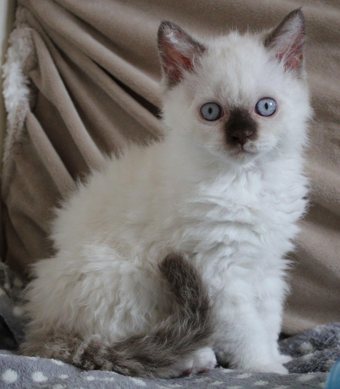 Selkirk Rex Kitten: Selkirk Cvsalyaybraxrzwz Breed