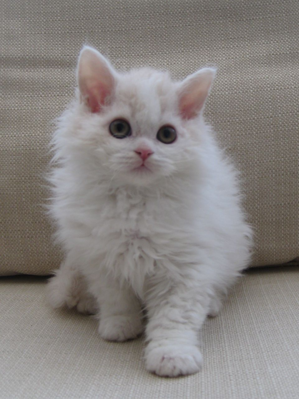 Selkirk Rex Kitten: Selkirk One Stunning Selkirk Rex Kittens Available Birmingham Breed