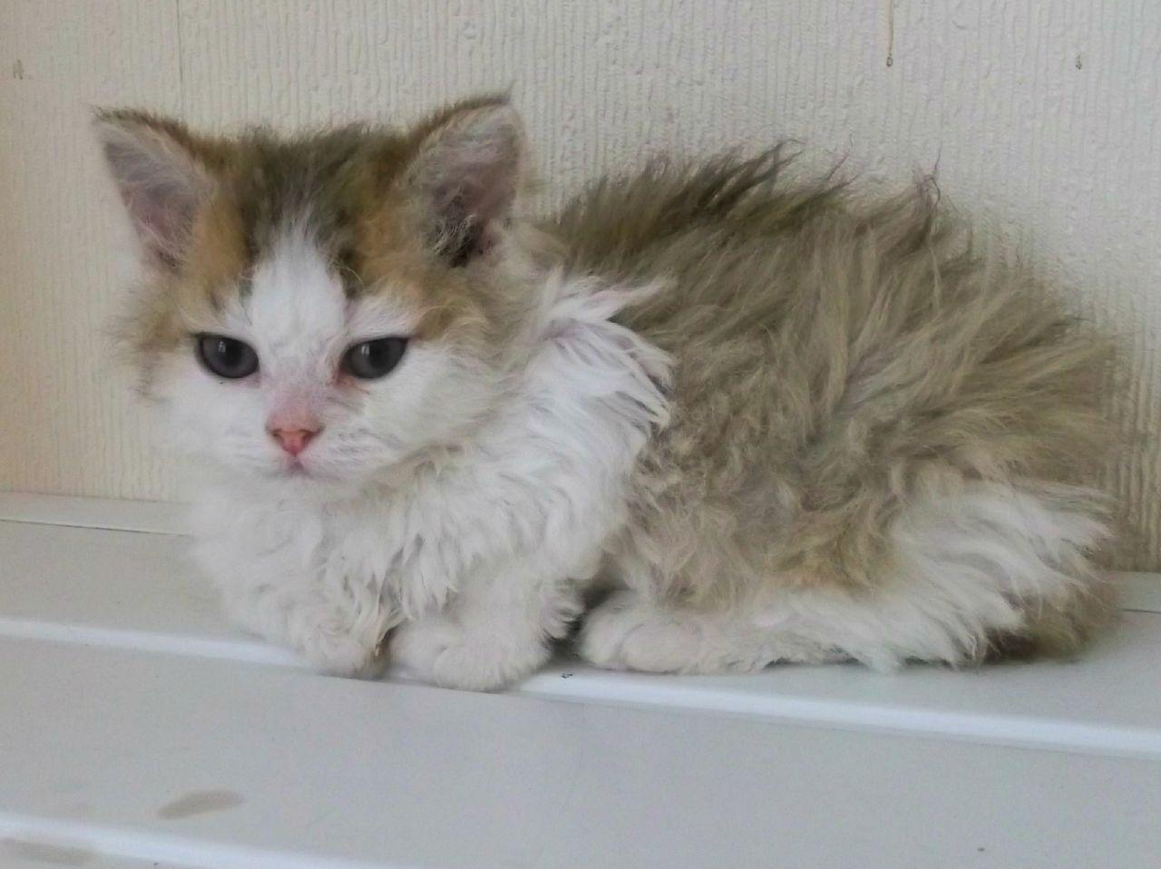 Selkirk Rex Kitten: Selkirk Pedigree Selkirk Rex Kittens For Sale Hartlepool Breed