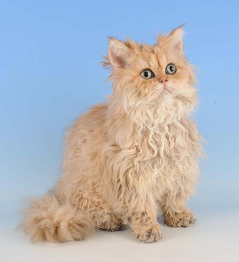 Selkirk Rex Cat: Selkirk Selkirk Rex Cat S Breed