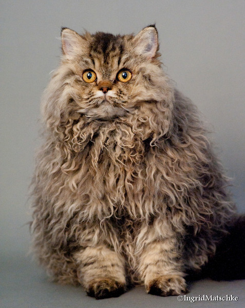 Selkirk Rex Cat: Selkirk Selkirk Rex Cats Breed