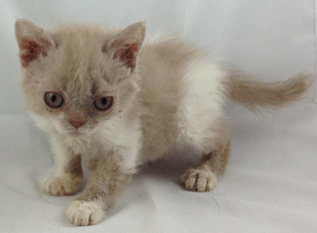 Selkirk Rex Cat: Selkirk Selkirk Rex Kittens Available From Pounds West Byfleet Breed