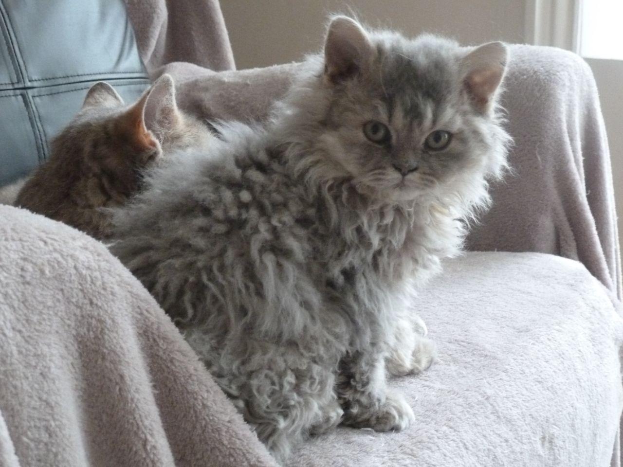 Selkirk Rex Kitten: Selkirk Selkirk Rex Kittens Bridgwater Breed