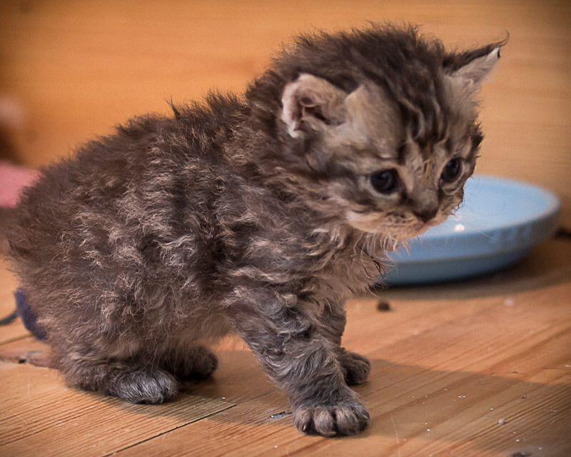 Selkirk Rex Kitten: Selkirk Selkirk Rex Kittens Lampeter Breed
