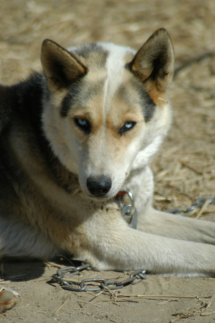 Seppala Siberian Sleddog Dog: Seppala Breed