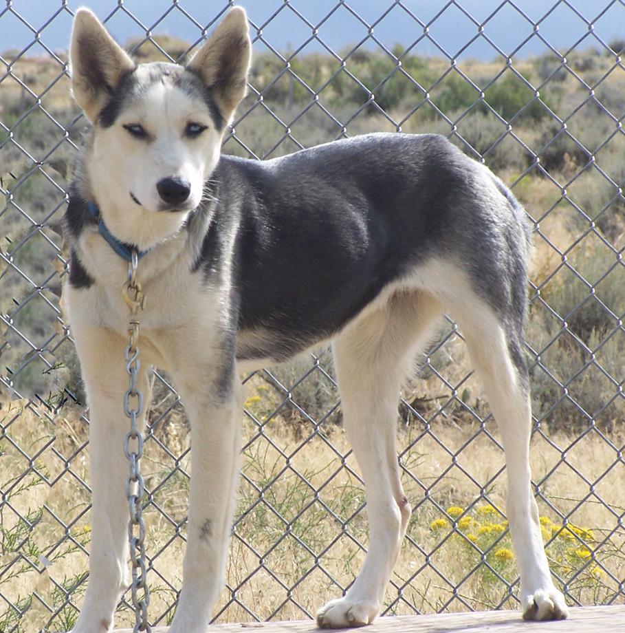 Seppala Siberian Sleddog Dog: Seppala Cute Seppala Siberian Sleddog Breed