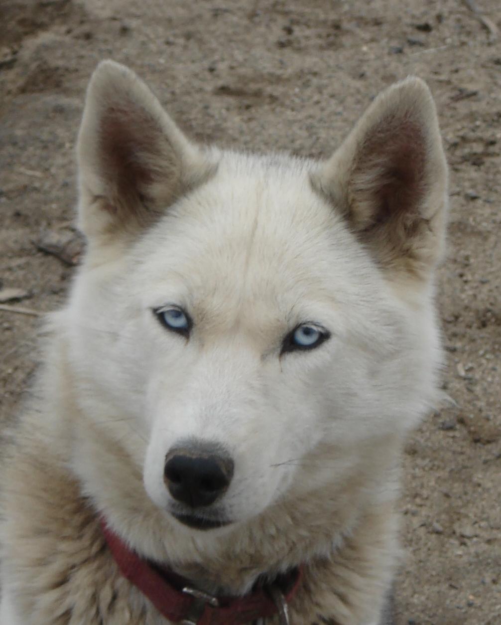 Seppala Siberian Sleddog Puppies: Seppala Dear Sweet Dushka Breed