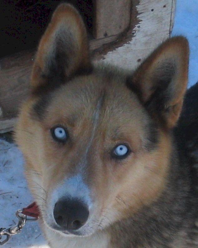 Seppala Siberian Sleddog Dog: Seppala Main Breed