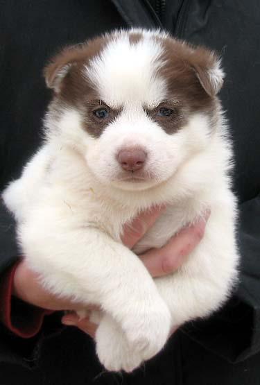 Seppala Siberian Sleddog Puppies: Seppala Puppies Breed
