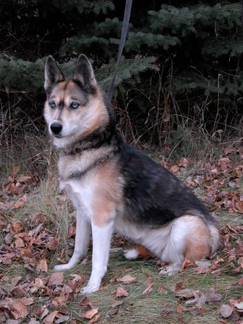 Seppala Siberian Sleddog Puppies: Seppala Seppala Husky Puppies Breed