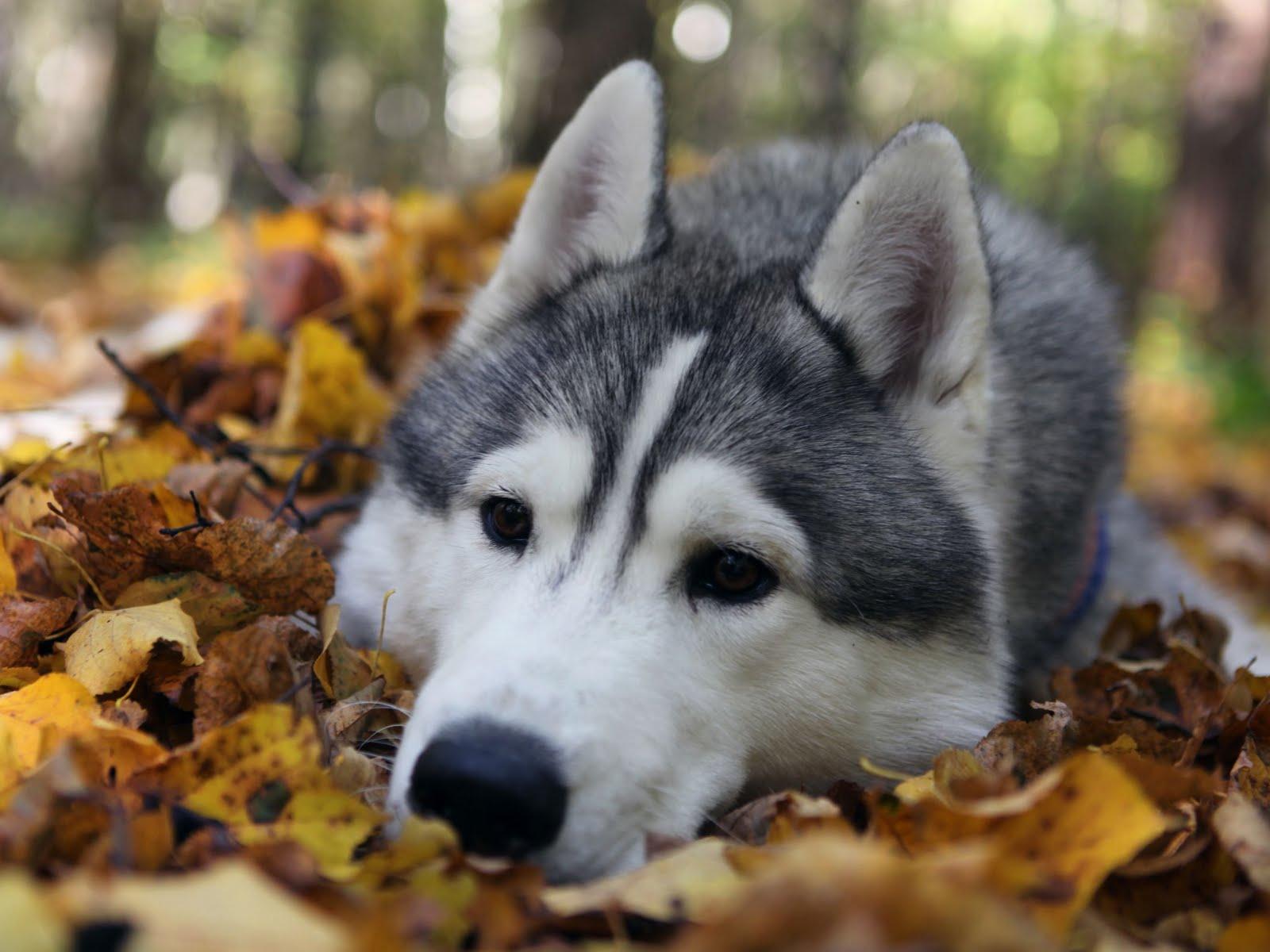 Seppala Siberian Sleddog Dog: Seppala Seppala Siberian Sleddog Dog Face Breed
