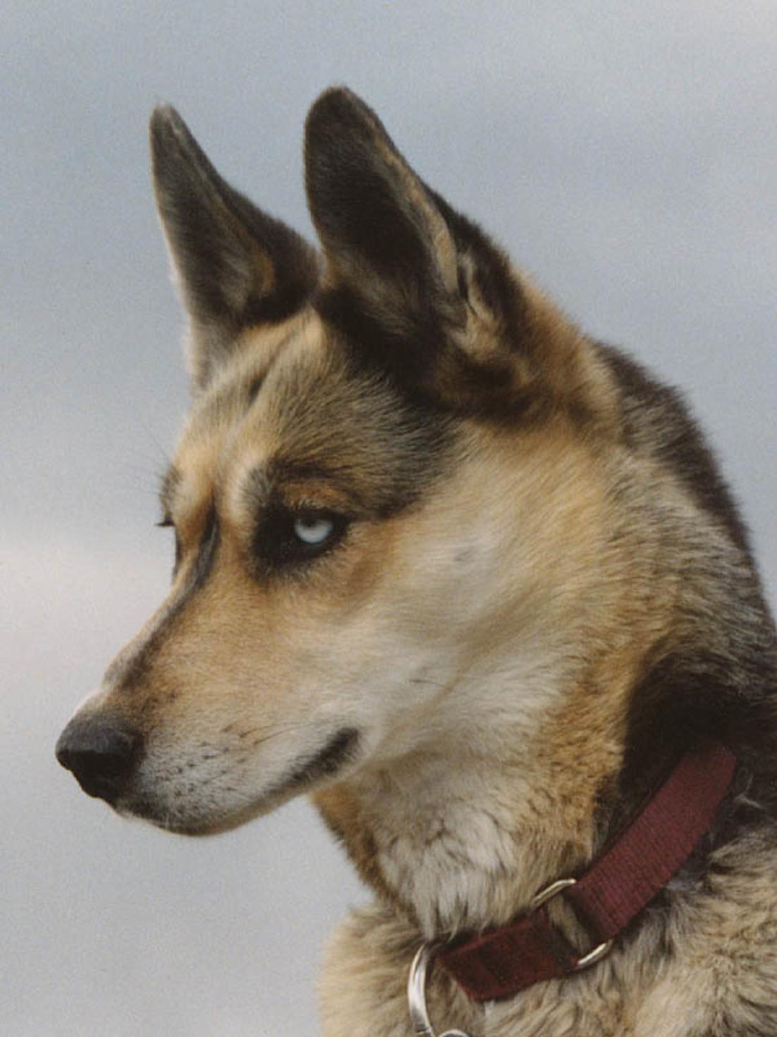 Seppala Siberian Sleddog Dog: Seppala Seppala Siberian Sleddog Portrait Breed