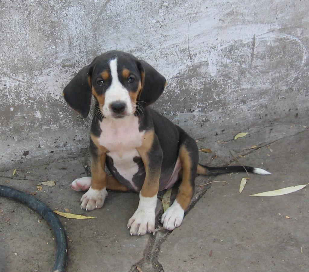 Serbian Tricolour Hound Puppies: Serbian Finnish Hound Puppies For Sale Breed