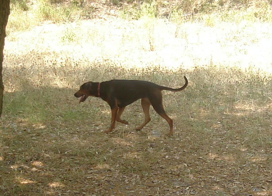 Serbian Hound Dog: Serbian Hunting Serbian Hound Dog Breed