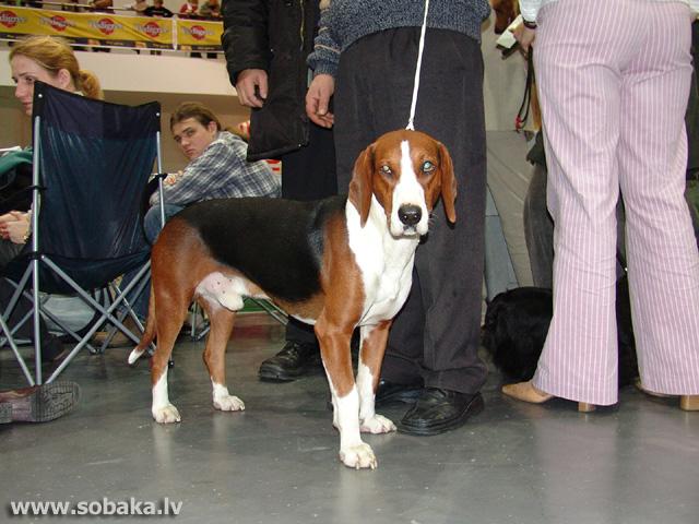 Serbian Tricolour Hound Dog: Serbian Index Breed