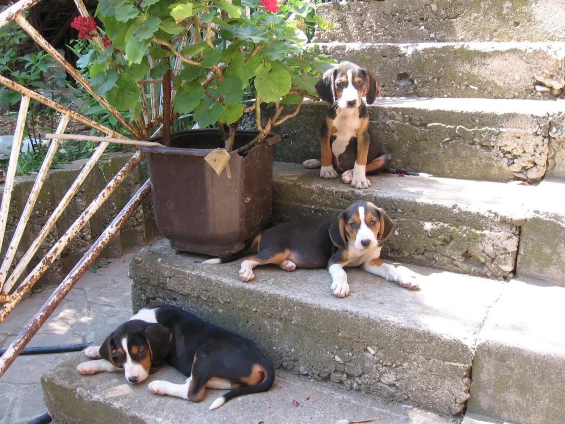 Serbian Hound Puppies: Serbian Resting Serbian Hound Dogs Breed