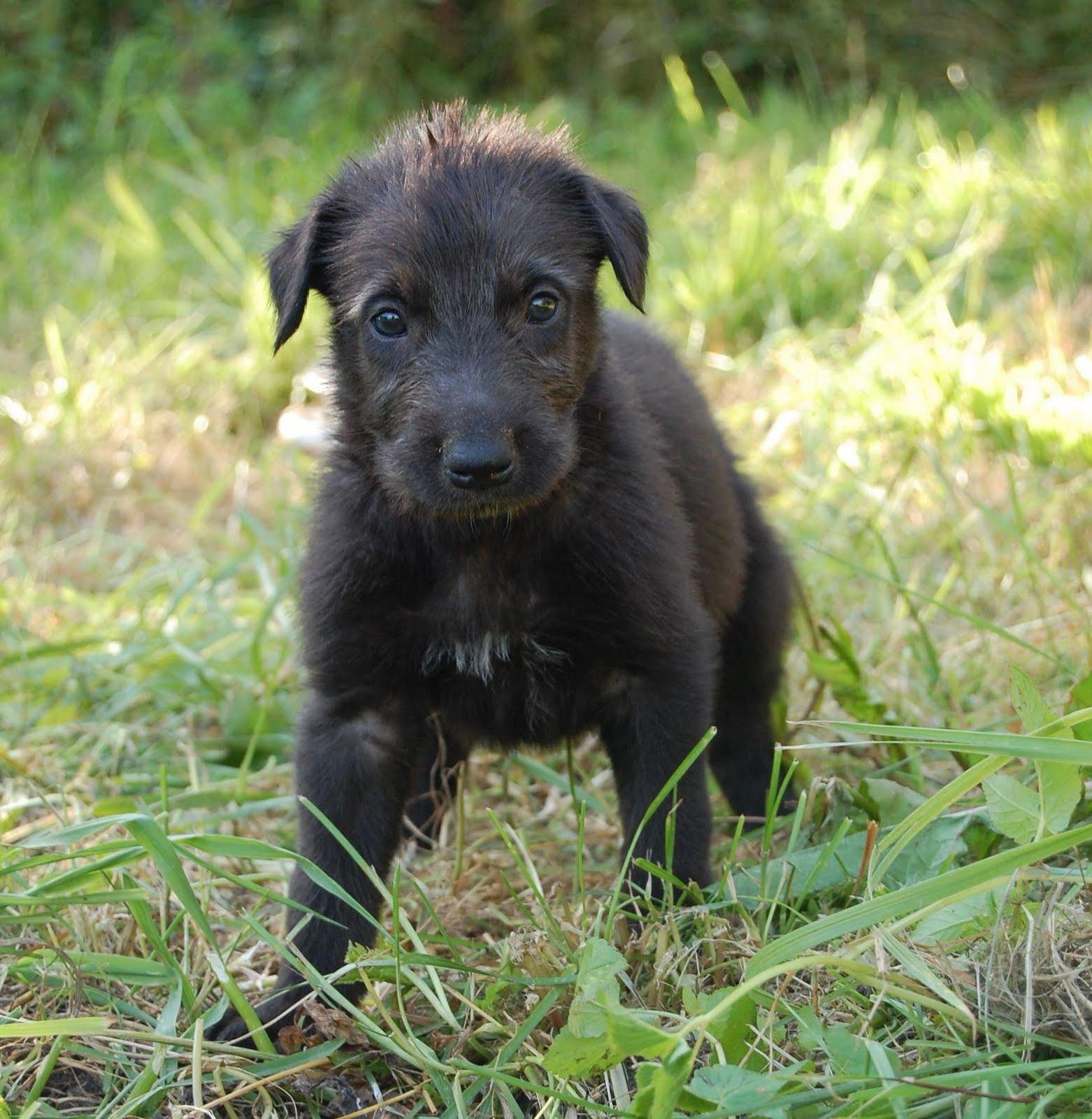 Serbian Tricolour Hound Puppies: Serbian Scottish Deerhound Puppy Breed