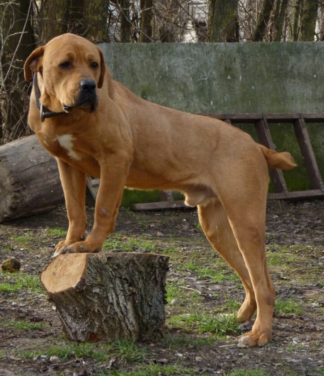 Serbian Hound Dog: Serbian Serbian Defense Dog Breed