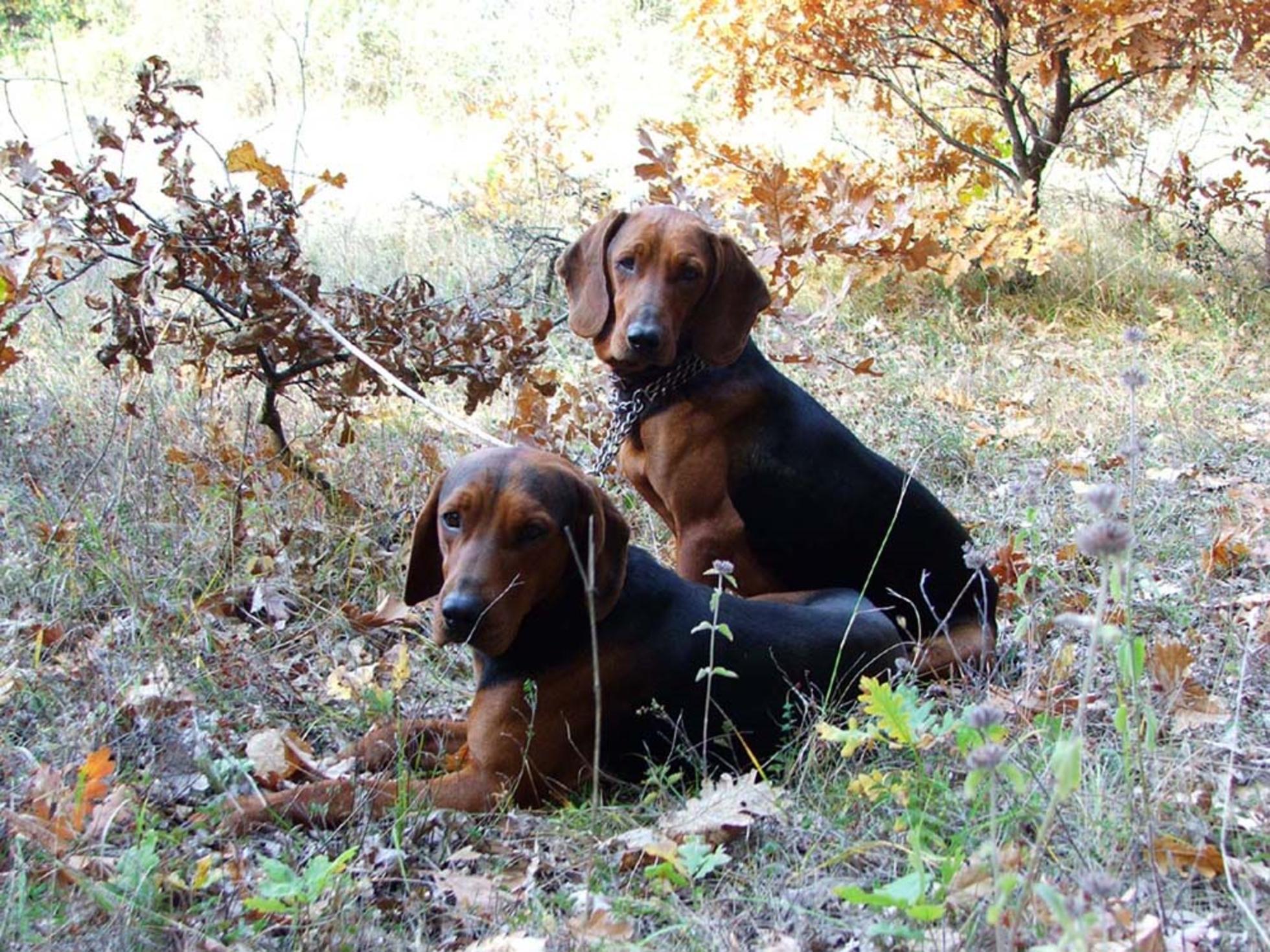 Serbian Tricolour Hound Dog: Serbian Serbian Hound Dogs Breed