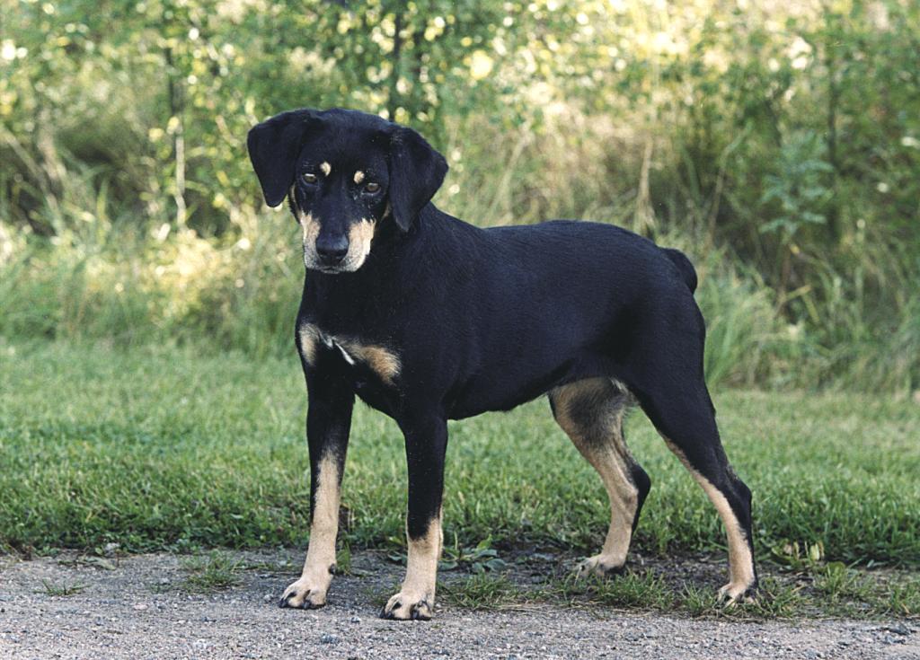Serbian Tricolour Hound Puppies: Serbian Smalandsstovare Dog Breed