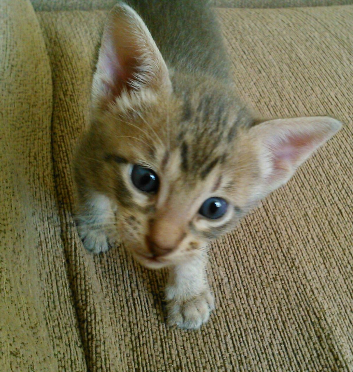 Serengeti Kitten: Serengeti First Generation Serengeti Kittens For Sale Blyth Breed