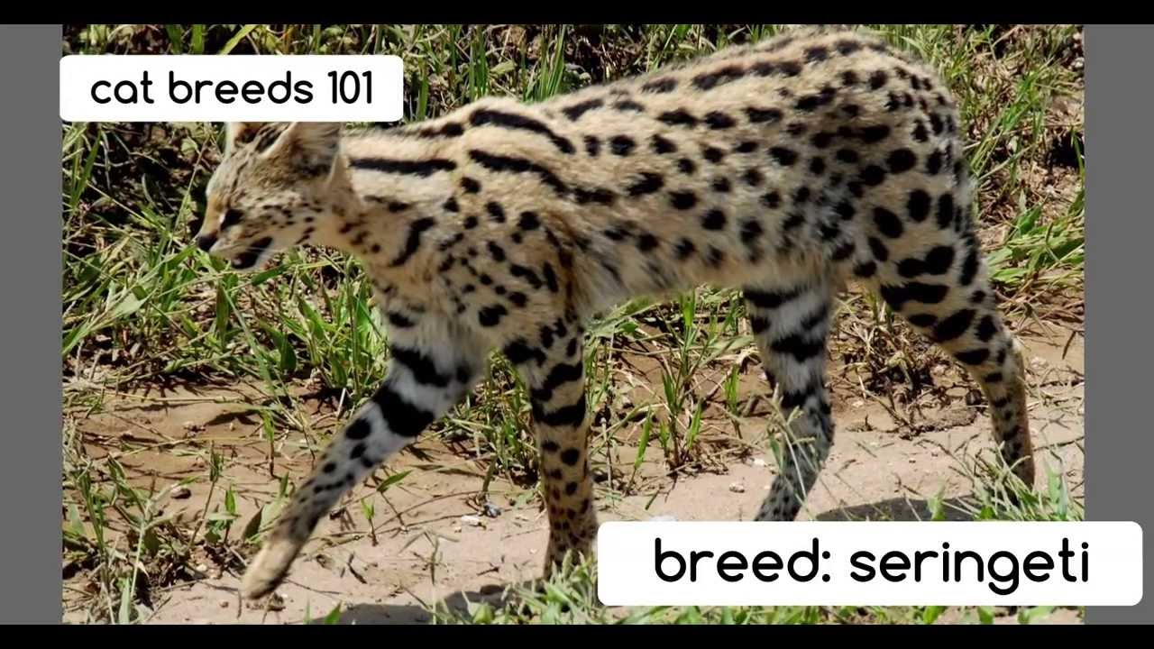 Serengeti Cat: Serengeti Serengeti Cats Cat Breeds