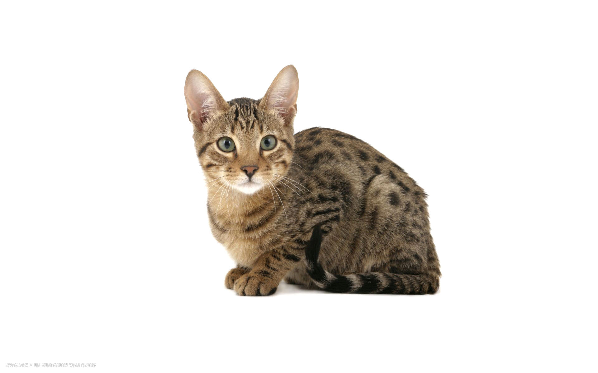 Serengeti Cat: Serengeti Serengeti Domestic Cat Breed