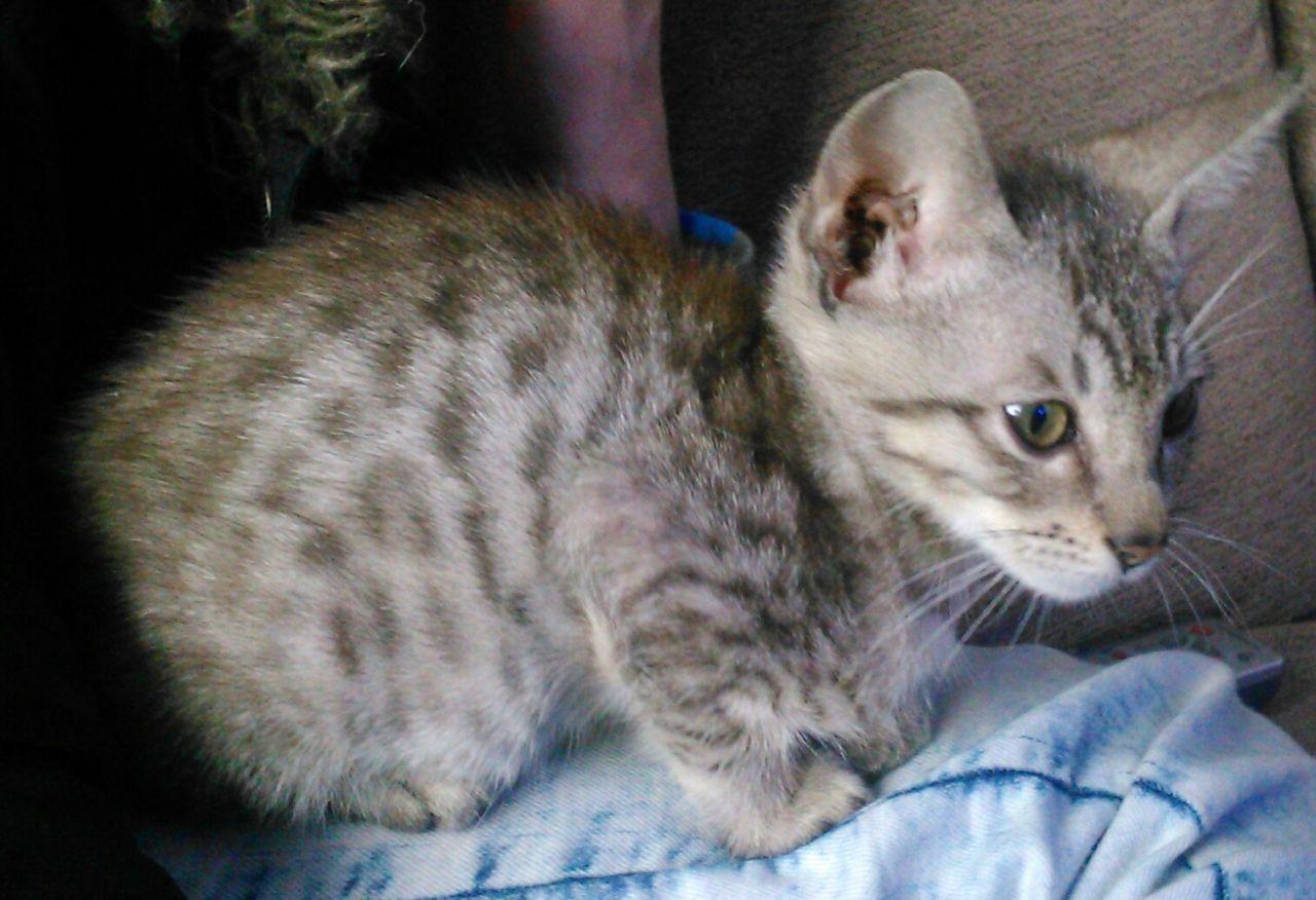 Serengeti Kitten: Serengeti Serengeti Kittens For Sale Blyth Breed