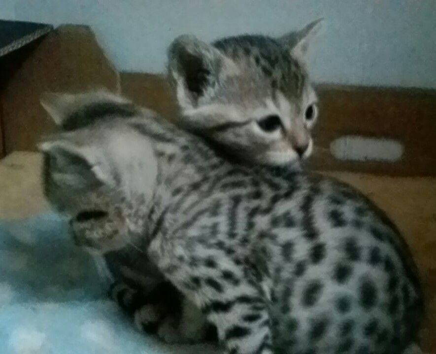 Serengeti Kitten: Serengeti Serengeti Kittens Next Litter Due Th March Plymouth Breed