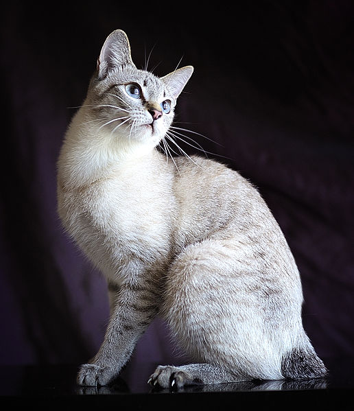 Serrade Petit Cat: Serrade Breed
