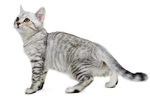 Serrade Petit Cat: Serrade Cats Breed