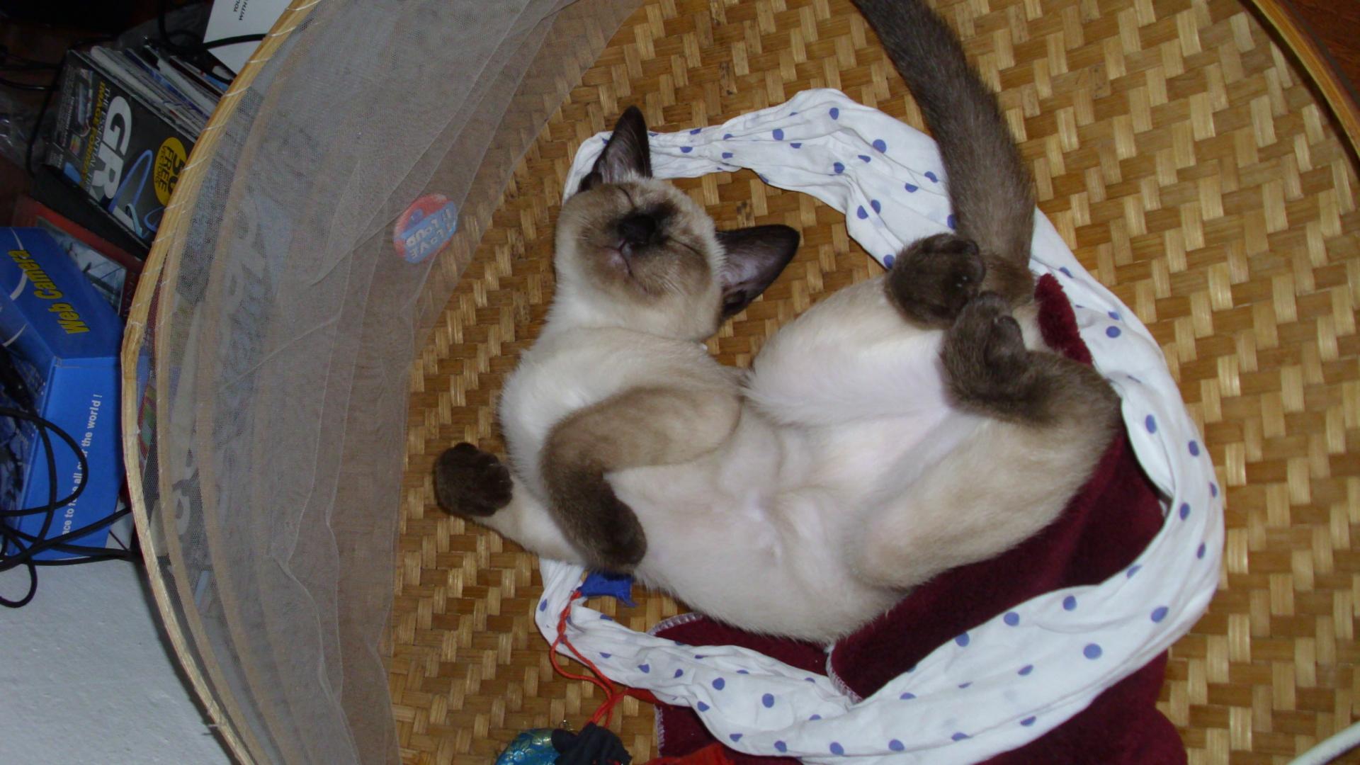 Serrade Petit Kitten: Serrade Most Playful Cat Breeds