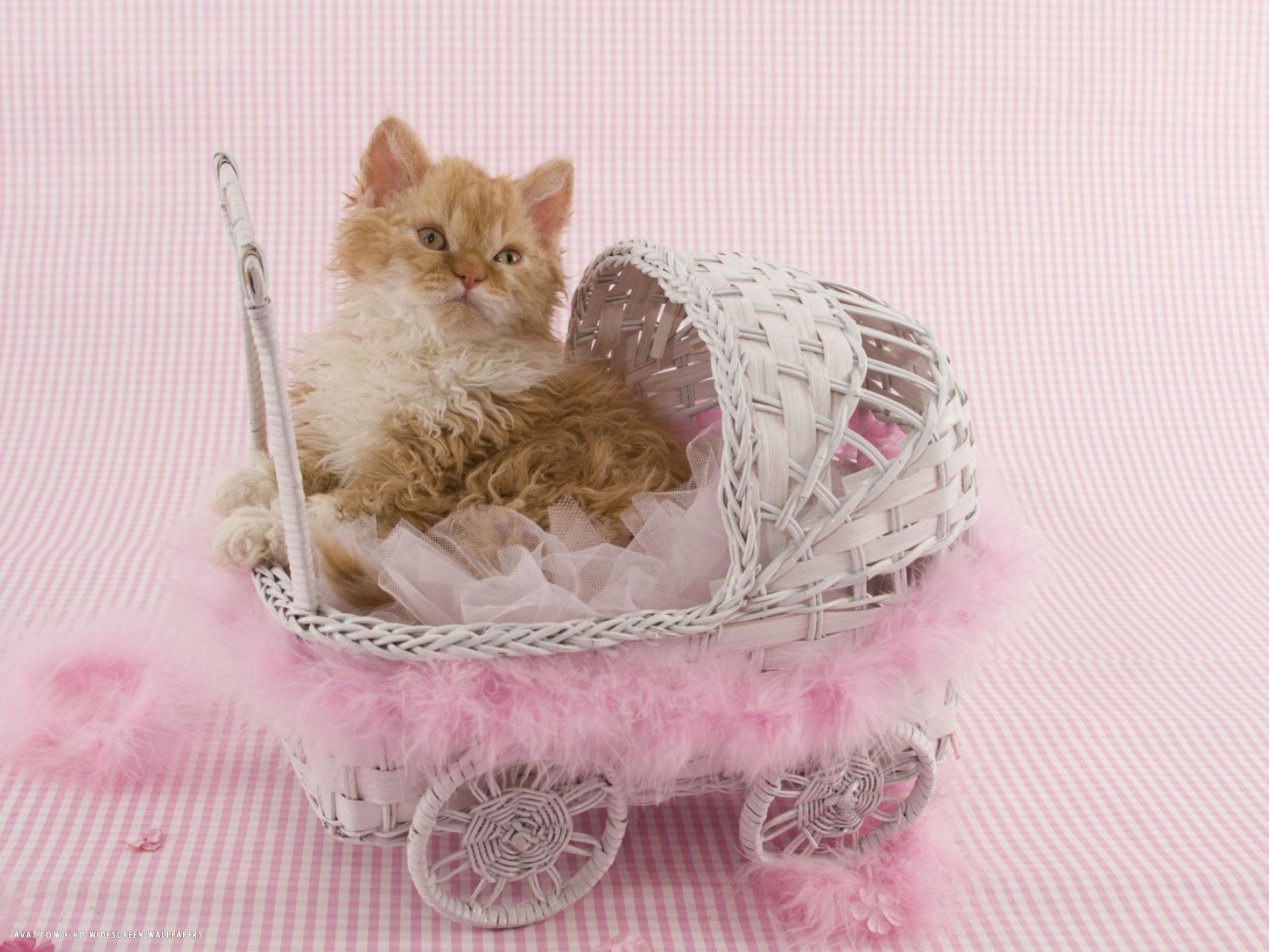 Serrade Petit Kitten: Serrade Selkirk Rex Kitten In Buggy Breed