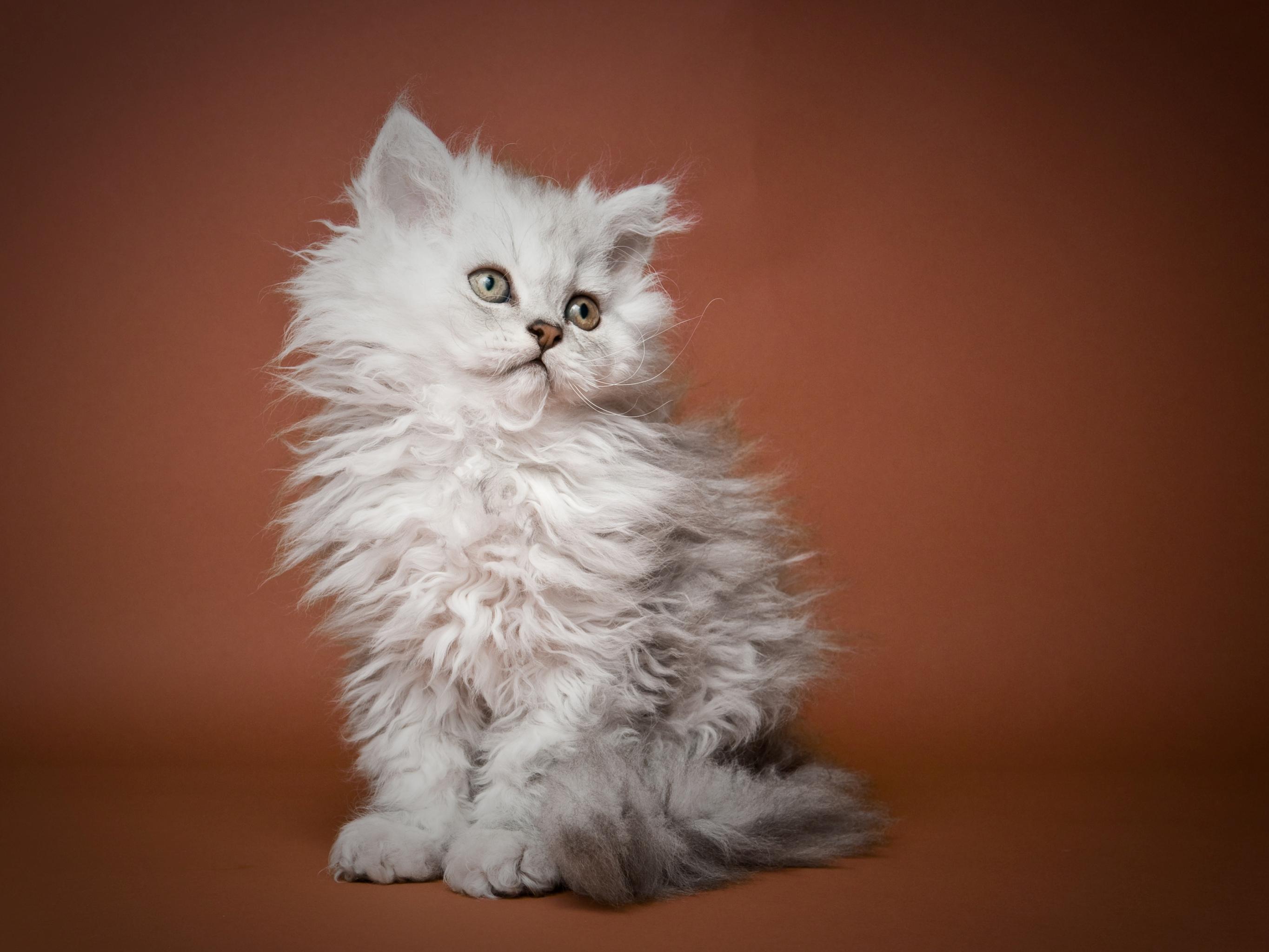 Serrade Petit Kitten: Serrade Selkirk Rex Kitten Portrait Breed