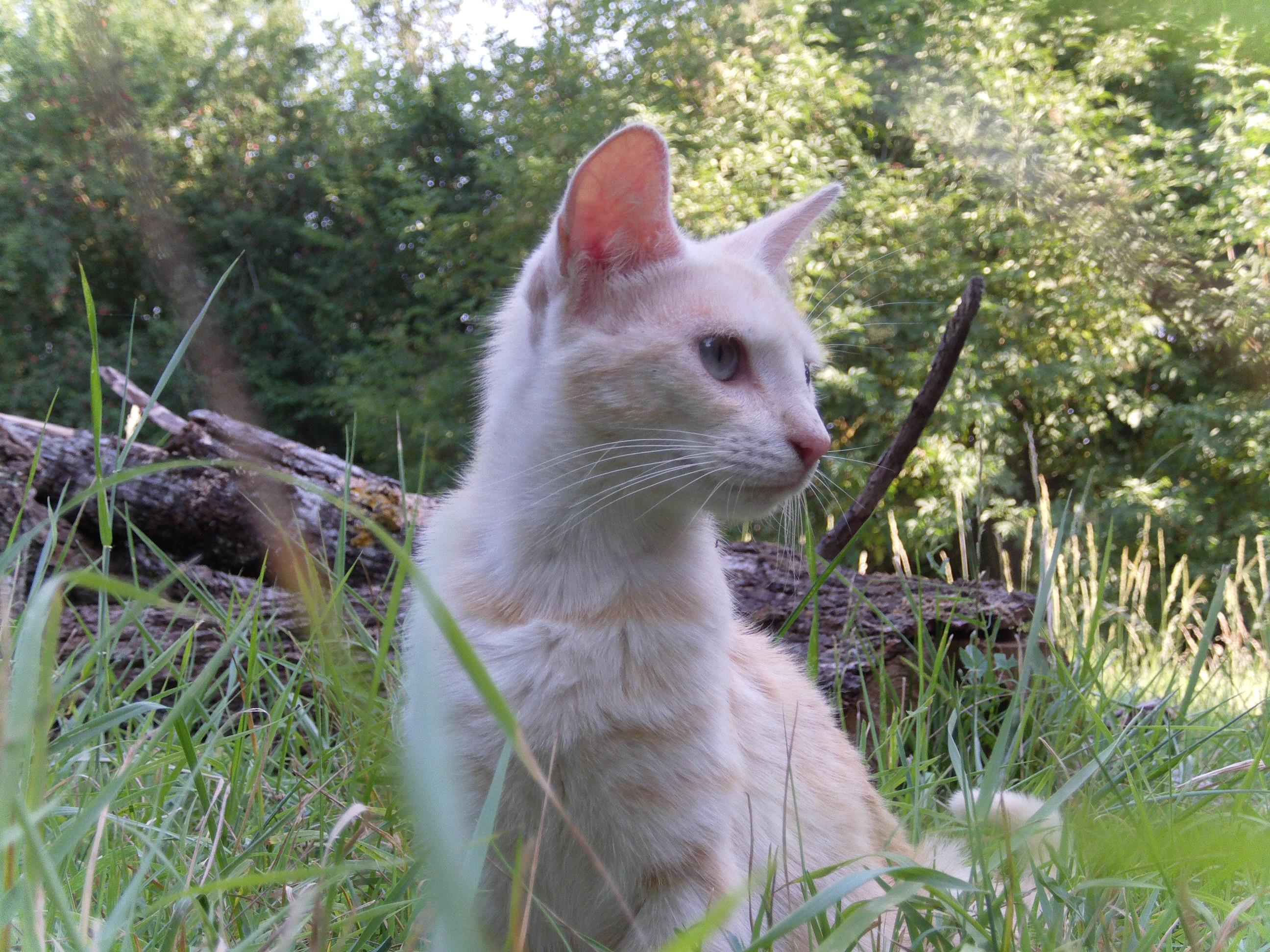 Serrade Petit Cat: Serrade Serrade Petit Cat Breed