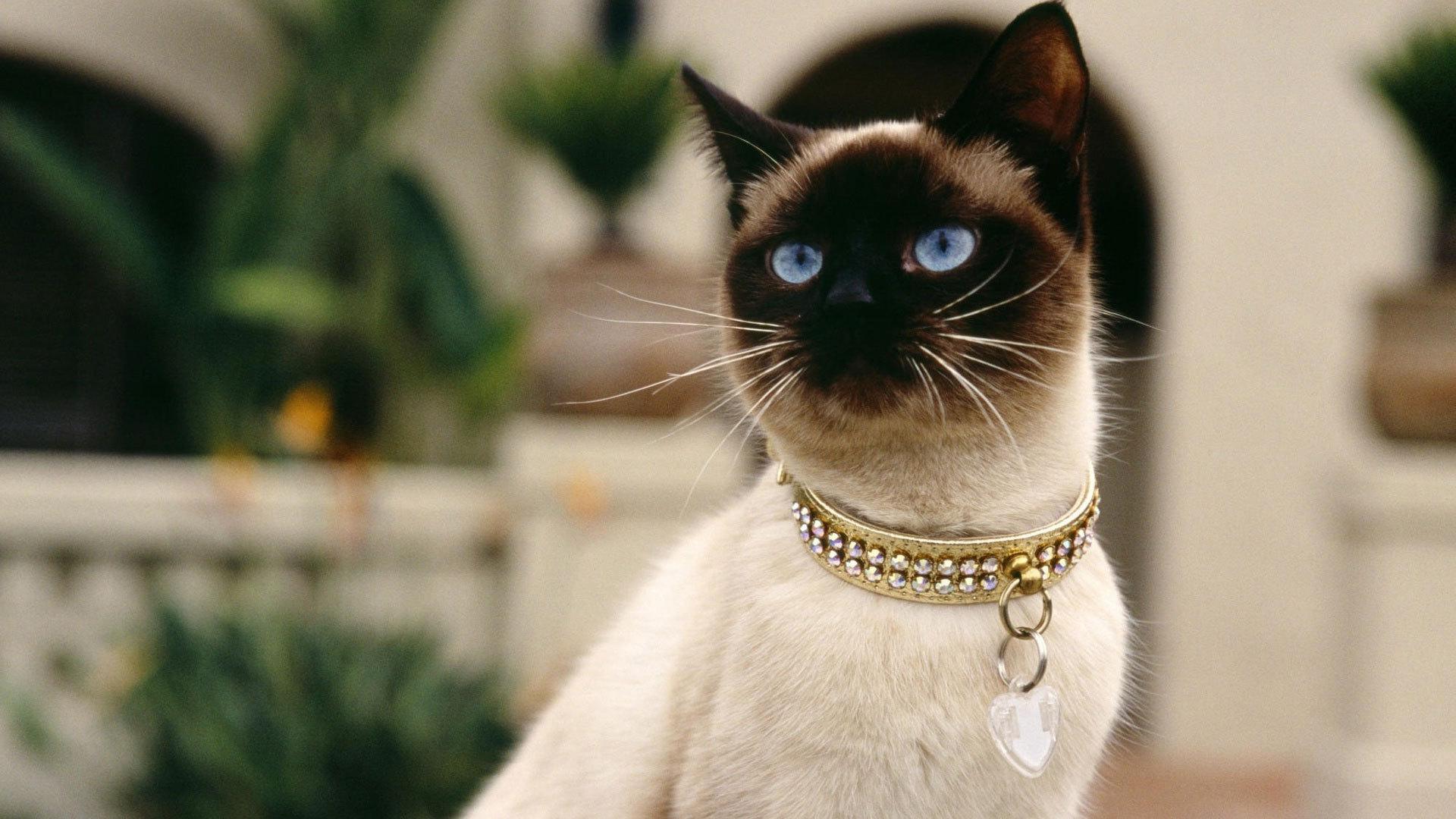 Serrade Petit Kitten: Serrade Siamese In The Street Breed