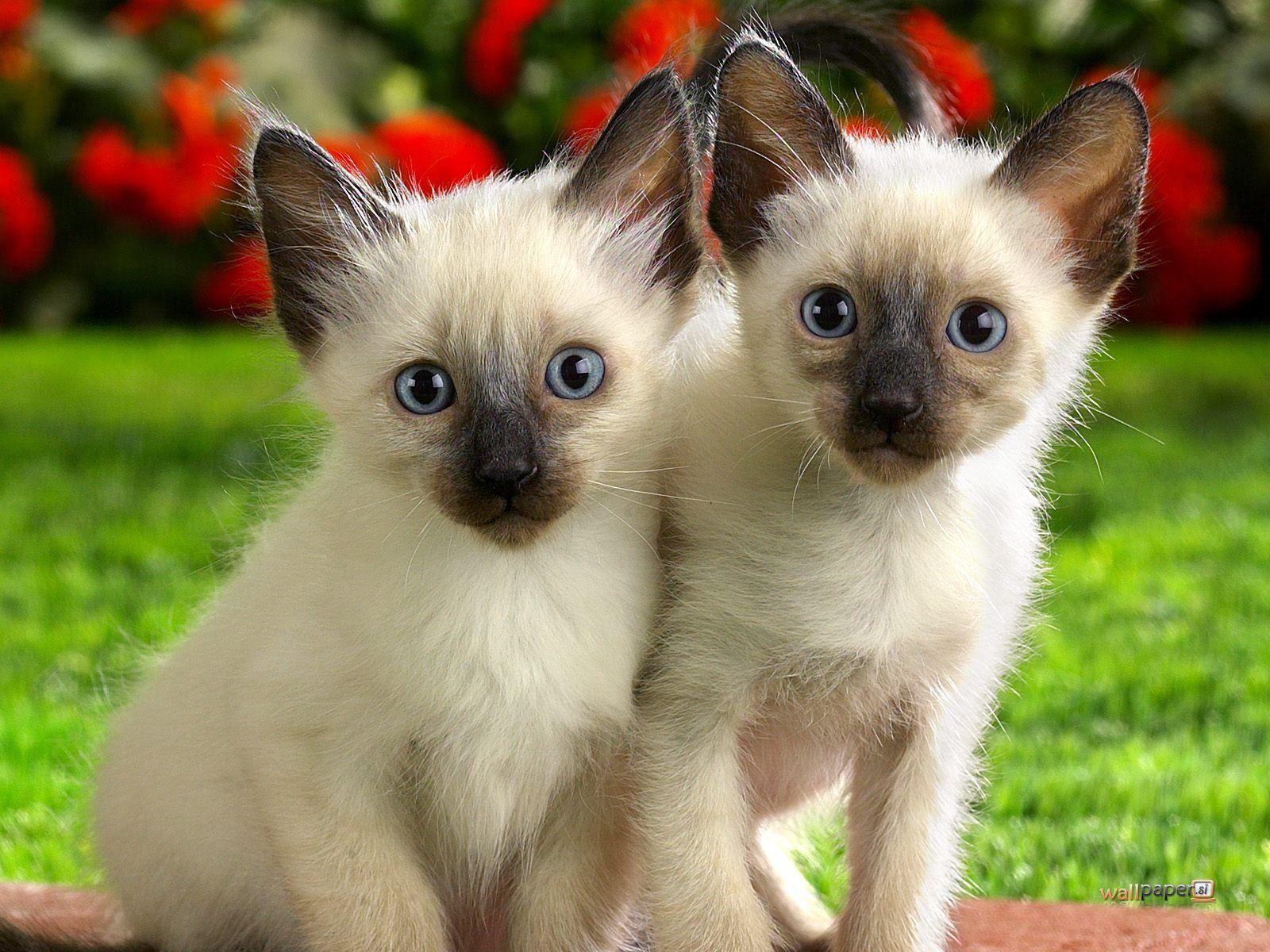 Serrade Petit Kitten: Serrade Siamese Kittens Breed