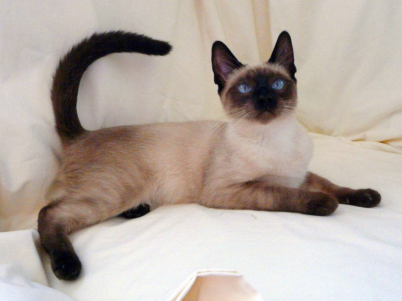 Serrade Petit Cat: Serrade Siamese On The Bed Breed