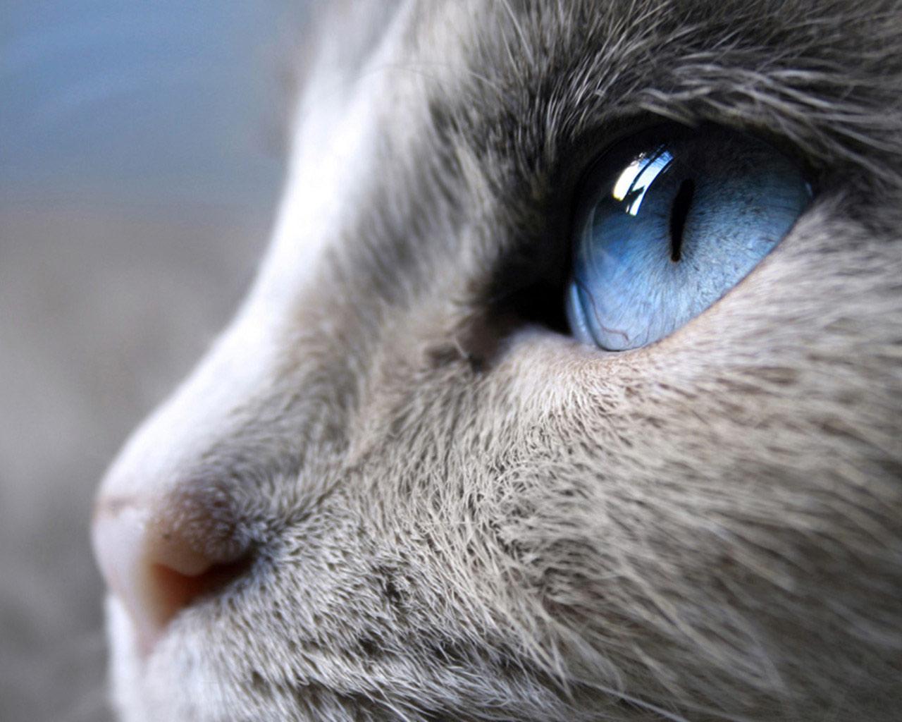 Serrade Petit Kitten: Serrade Siamese With Bonny Eyes Breed