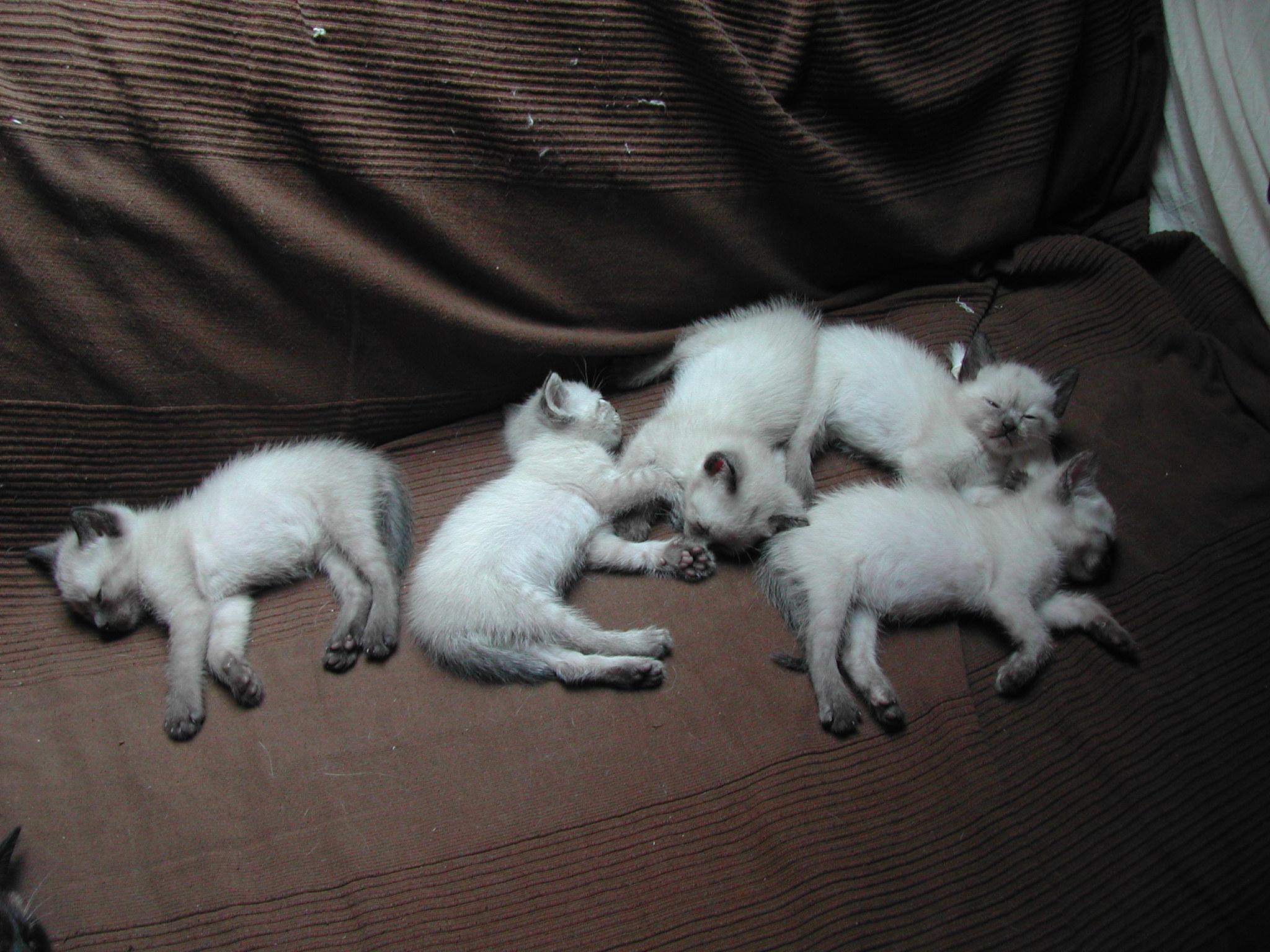 Serrade Petit Kitten: Serrade Sleeping German Rex Kittens Breed