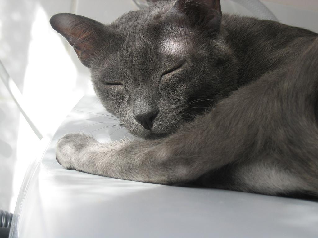 Serrade Petit Kitten: Serrade Sleeping Korat Breed
