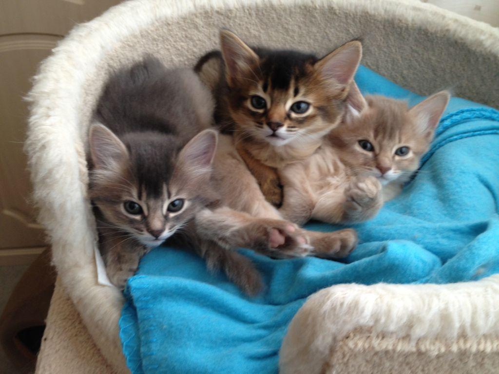 Serrade Petit Kitten: Serrade Somali Kittens Breed